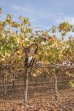 Giallo e foglie verdi sulle viti fotografia stock libera da diritti