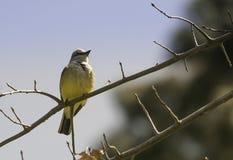 Giallo ed ed uccello bianco del parco immagini stock