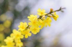 Giallo luminoso della primavera del cespuglio di fioritura di forsythia Fotografia Stock