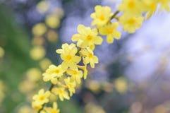 Giallo luminoso della primavera del cespuglio di fioritura di forsythia Immagine Stock