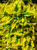 Giallo luminoso e foglie verdi Immagine Stock