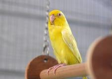 Giallo pacifico sveglio Forpus di Parrotlet Fotografie Stock Libere da Diritti