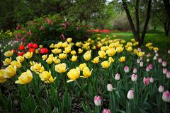 Giallo, rosa e tulipani rossi in un giardino fotografie stock