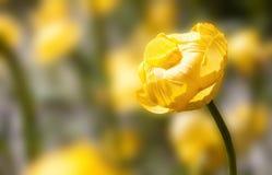 Giallo tenero della primavera Fotografie Stock Libere da Diritti