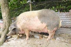 Gian pig raised in Panama stock photos