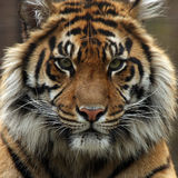 The Giant. Closeup of a Sumatran Tigers face Royalty Free Stock Photo