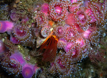 Giant Acorn Barnacle surrounded by Club-tipped Anemones. Giant Acorn Barnacle surrounded by pink and purple Club-tipped Anemones found off of central California' Stock Photo