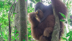 Giant adult orangutan sitting in a tree Stock Photo