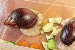 Giant african Achatina fulica snails eats cucumber and cabage. Giant african Achatina fulica snails eats cucumber and cabage taken closeup Royalty Free Stock Photos