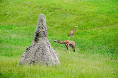 giant African ant hill and giraffes Royalty Free Stock Photo