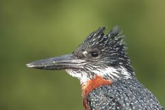 Giant african kingfisher Stock Photo