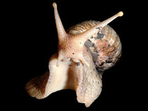Giant African land snail Stock Photo