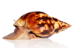 Giant African land snail Achatina crawling Stock Image