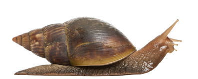 Giant African land snail, Achatina fulica, 5 Royalty Free Stock Photo