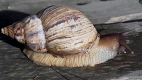 Giant African land snail achatina stock video