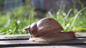 Giant African Land Snail Achatina. On a Wooden Floor stock footage