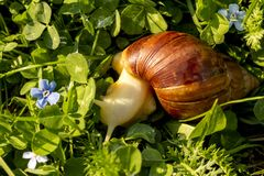 Giant african land snail is crawling in green grass. Macro image royalty free stock photo
