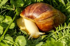 Giant african land snail is crawling in green grass. Macro image royalty free stock images