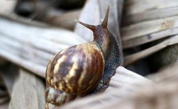 Giant African land snail. Or Achatina fulica walk on dry leaf stock photography