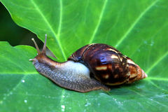 Giant African Land Snail Stock Photos