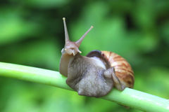 Giant African Land Snail Macro. Royalty Free Stock Image