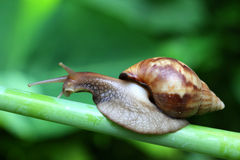 Giant African Land Snail Macro. Stock Photo