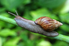 Giant African Land Snail. Royalty Free Stock Image