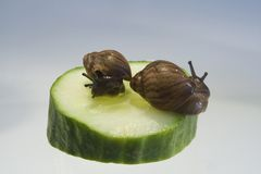 Giant African land snails. Two Giant African Land Snails on a slice of cucumber isolated on plain background Royalty Free Stock Photos