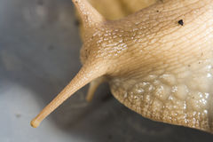 Giant African Land Snails. Close shots Royalty Free Stock Photography