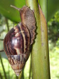 Giant African Snail Stock Images