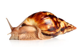 Giant African snail Achatina Stock Photos