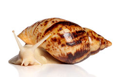 Giant African snail Achatina crawling Stock Photo