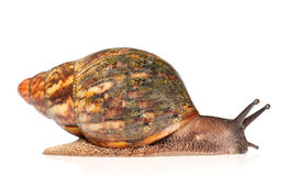 Giant African snail Achatina crawling Stock Photography