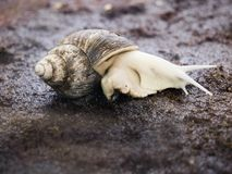 Giant African snail with brown coiled moving slow on the ground stock image