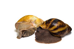 Giant african snail couple isolated Royalty Free Stock Images