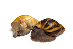 Giant african snail couple isolated Stock Photography