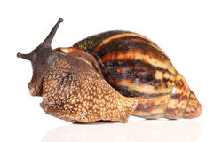 Giant African snail crawling Royalty Free Stock Images