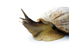 Giant african snail isolated on white background Royalty Free Stock Image