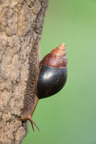 Giant African Snail Stock Photo