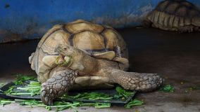 Giant African spurred or Sulcata tortoise eating vegetable. Giant African spurred or Sulcata tortoise with green mouth by eating vegetable in close up looking to stock video