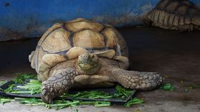Giant African spurred or Sulcata tortoise eating vegetable. Giant African spurred or Sulcata tortoise with green mouth by eating vegetable in close up looking to stock footage