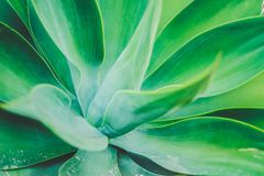 Giant agave succulent plant growing in botanical garden. royalty free stock photos