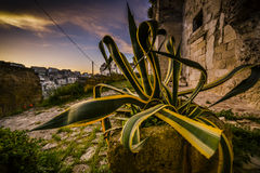 Giant agave with yellow stripes Royalty Free Stock Photography