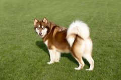 Giant Alaska dog. The Alaska sled dog is one of the oldest sled dogs. A horse called Miao tribe. Its name comes from the Eskimo Innuit, the tribe lives in Stock Photos