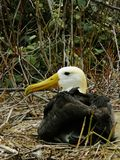 The giant albatross, nesting on isla del plata in ecuador royalty free stock photography