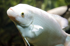 Giant albino Gourami Stock Photo