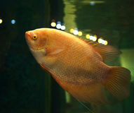 Giant albino Gourami Royalty Free Stock Photos