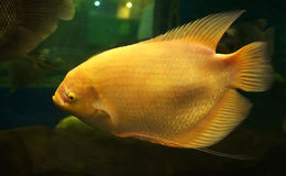 Giant albino Gourami Royalty Free Stock Image