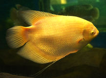 Giant albino Gourami Royalty Free Stock Photo