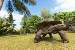 Giant Aldabra tortoise on an island in Seychelles. Stock Photos